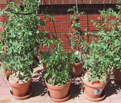 Tomatoes_dennis
