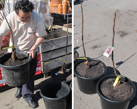 Walnut-tree-potted
