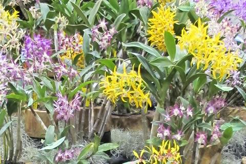 Aust-native-orchid-henk-van-den-berg-maitland-nsw