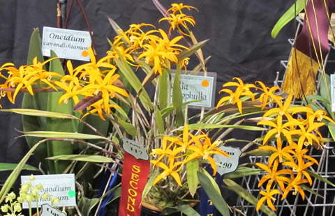 Orchid-show-2011-0003