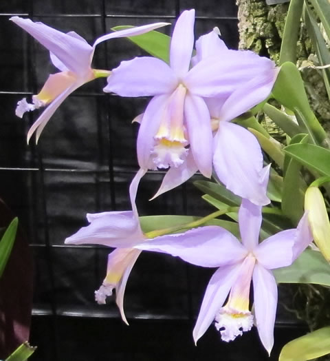 Orchid-show-2011-0006
