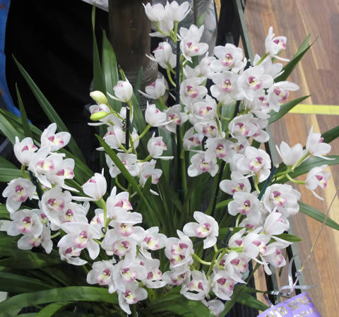 Orchid-show-2011-0012