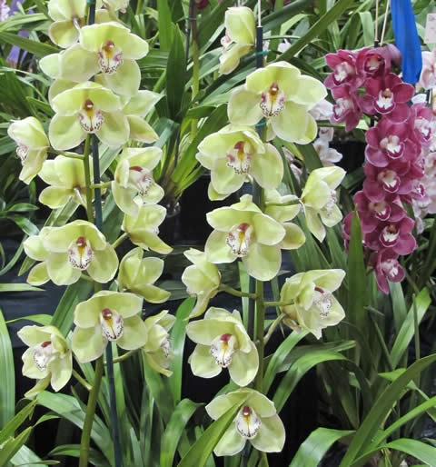 Orchid-show-2011-0014
