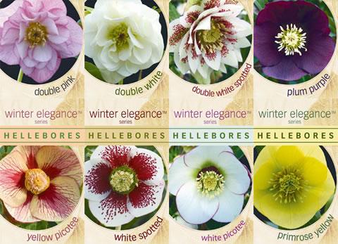 Winter-elegance-hellebores