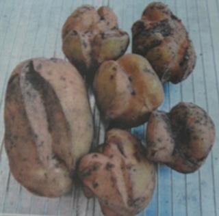 Potato-virus-Y-2