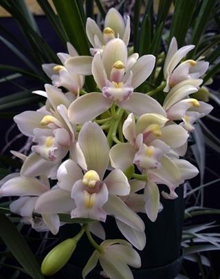 Cymbidium-orchid2