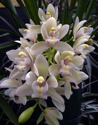 Gardening And Growing Plants Cymbidium Orchids From Collector S