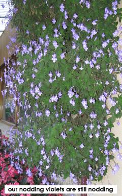 Nodding-violets