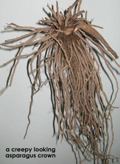 Asparagus-crown