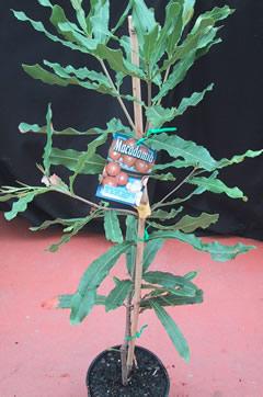 Macadamia-nut-3