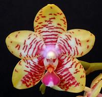 Phalaenopsis_orchid_1