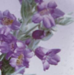 Emophila-flowers