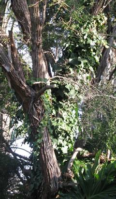 Ivy-up-tree