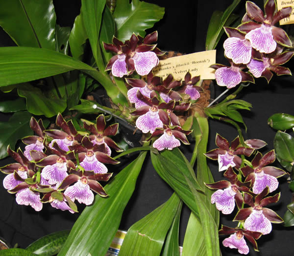 Orchid-spectacular-12