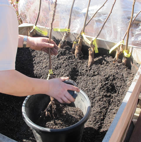 Walnut-tree-potting
