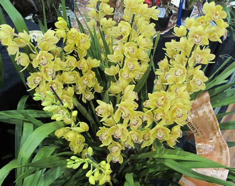 Orchid-show-2011-0001