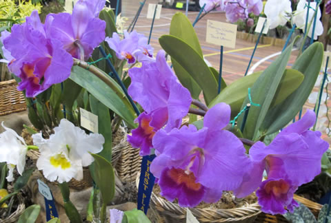 Orchid-show-2011-0002