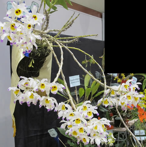 Orchid-show-2011-0005