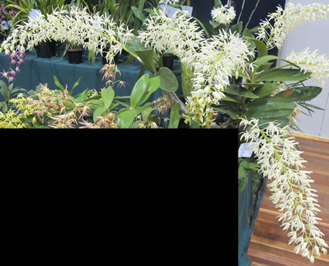 Orchid-show-2011-0007