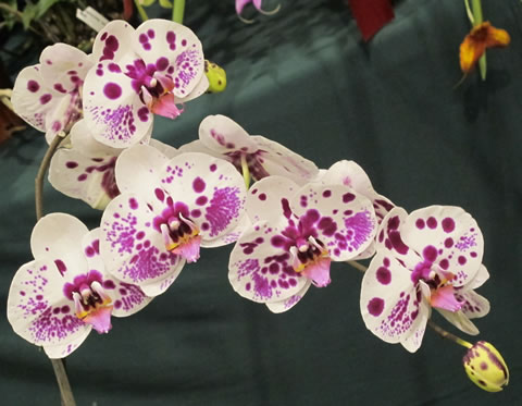 Orchid-show-2011-0009