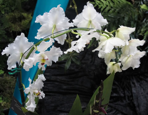 Orchid-show-2011-0010
