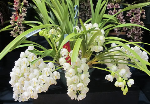 Orchid-show-2011-0016