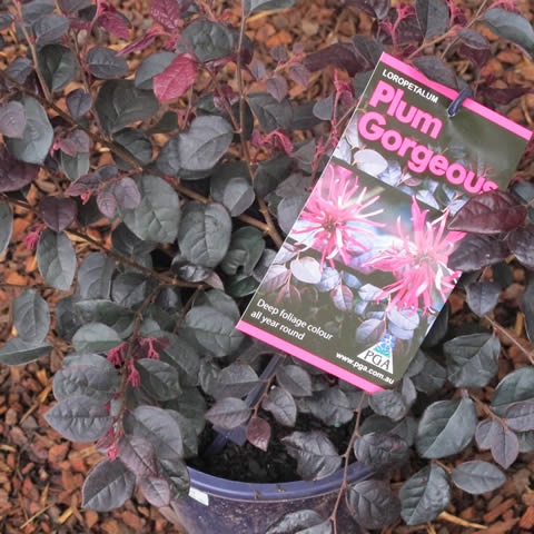Gardening And Growing Plants New Release Loropetalum