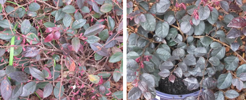 Loropetalum-comparison