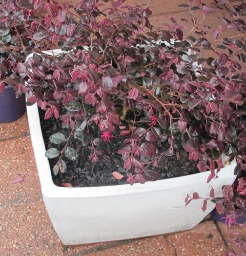 Loropetalum-gardenworld-display-pot