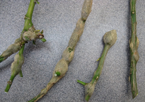 Citrus-gall-wasp-damaged-branches