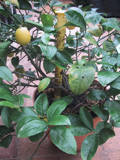 Lots-a-lemons-with-wasp-trap