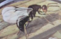Citrus-gall-wasp