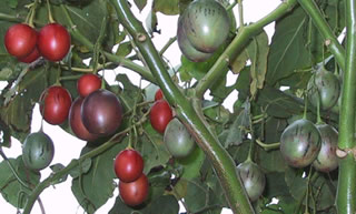 Tamarillo_fruit