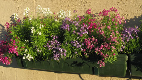 Gardening and growing plants : Linaria - a flowering annual