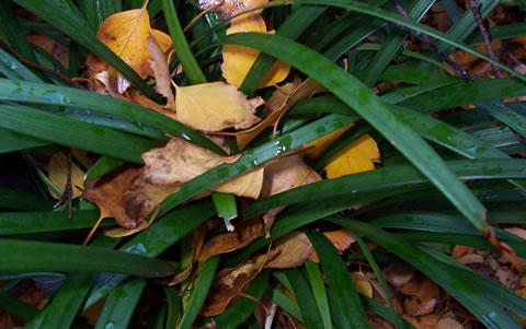 Liriope-with-intertwined-birch-leaves