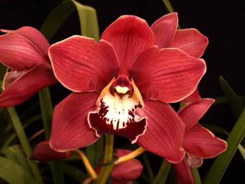 Cymbidium-orchid1