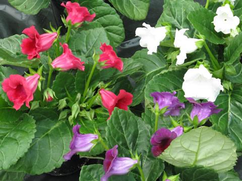 Hortivations-sakata-new-release-gloxinia