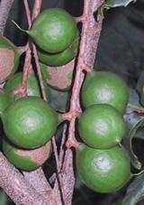 Macadamia-nut-1
