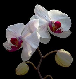 Phalaenopsis_orchid_3