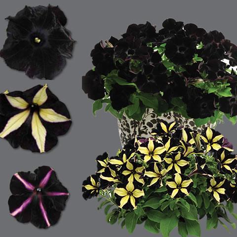 Black-petunias