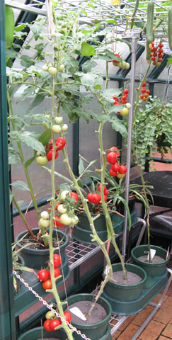 Hydroponic-tomatoes-3