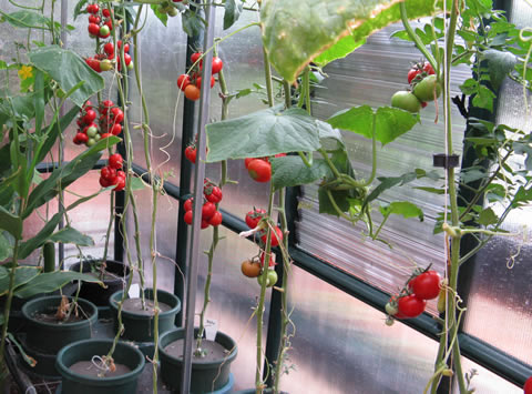 Hydroponic-tomatoes-2