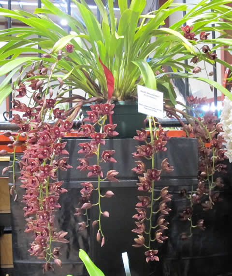 Orchid-show-2011-0015