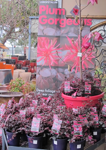 Loropetalum-gardenworld-display