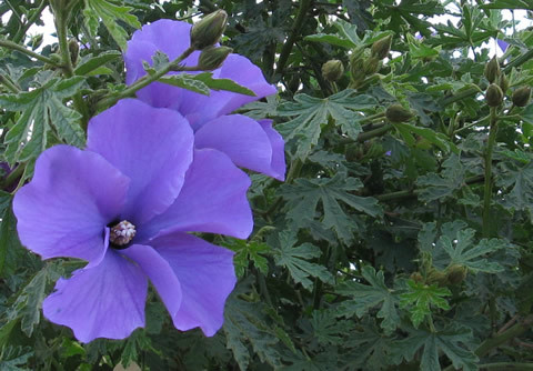 Gardening And Growing Plants Australias Own Native Hibiscus