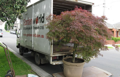 Japanese-maple-back-of-truck