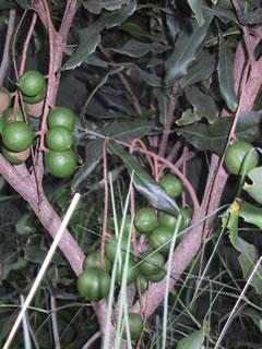 Macadamia-nut-2