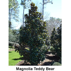 Magnolia-teddy-bear