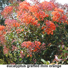 Eucalyptus-grafted-mini-orange