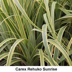 Carex-rehuko-sunrise